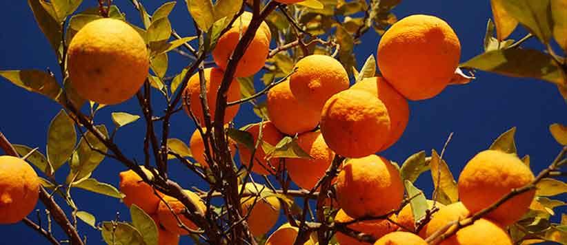 Malta Himalayan Orange Uttarakhand
