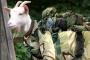 बैजू बकरा: गढ़वाल रायफल्स में एक बकरे के जनरल बनने की कहानी