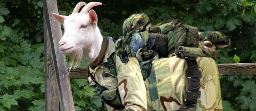Goat in Garhwal Rifles