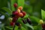 काफल : ख़ालिस पहाड़ीपन लिए एक फल