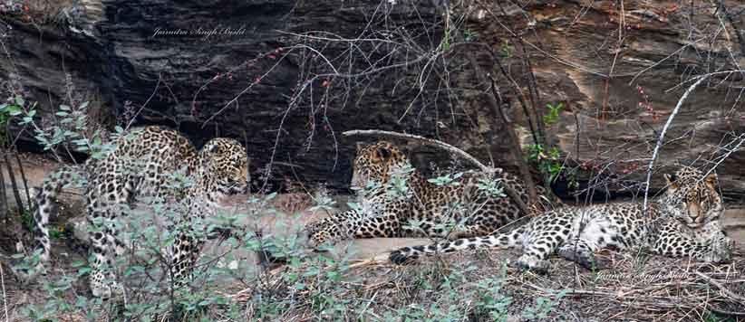 Leopard of Patlibagad