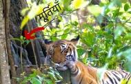 कॉर्बेट पार्क में जब बाघिन मां दुर्गा की भक्ति में डूबी दिखी