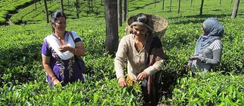 बेरीनाग की बेमिसाल चाय