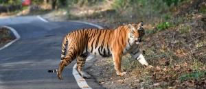 Tigress of Sitabani
