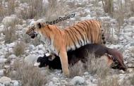 बाघिन का घातक हमला